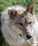 Grey wolf 8 Stock Photography