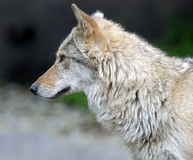 Grey wolf 11 Royalty Free Stock Images