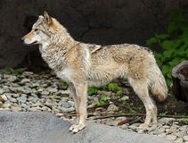 Grey wolf 13 Royalty Free Stock Image