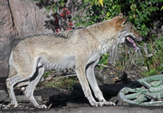 Grey wolf 15 Stock Photography
