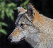 Grey wolf 17 Royalty Free Stock Images