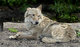 Grey wolf 2 Stock Photography