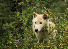 Grey Wolf. Light brown young grey wolf Royalty Free Stock Photography