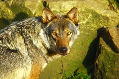 Free Grey Wolf Looking For Prey Stock Images - 3366724