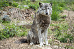 Grey wolf while looking at you Stock Image