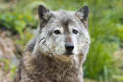 Grey wolf while looking at you Royalty Free Stock Photography