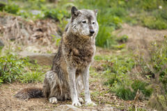 Grey wolf while looking at you Stock Photo