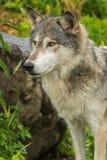 Grey Wolf (lúpus de Canis) está a rocha próxima Imagens de Stock