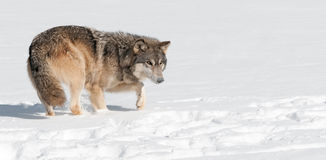 Grey Wolf (lupus de Canis) acecha a través de nieve Imagenes de archivo