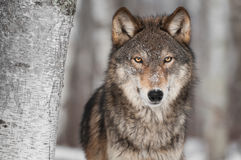 Grey Wolf (lupus de Canis) al lado del árbol de abedul Fotografía de archivo libre de regalías