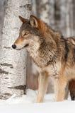 Grey Wolf (lupus de Canis) delante del árbol de abedul Imagen de archivo libre de regalías