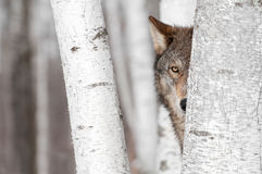 Grey Wolf (lupus de Canis) derrière l'arbre Photographie stock libre de droits