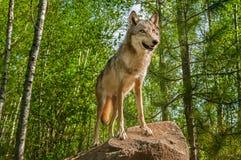 Grey Wolf (lupus de Canis) en roca mira para arriba Fotografía de archivo