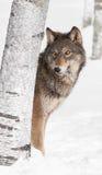 Grey Wolf (lupus de Canis) mira a escondidas de detrás árbol de abedul Foto de archivo