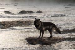 Grey Wolf (lupus de Canis) se coloca en roca en Misty River Foto de archivo libre de regalías
