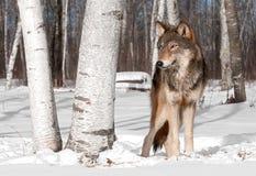 Grey Wolf (lupus de Canis) se coloca en Treeline con el árbol de abedul Foto de archivo libre de regalías
