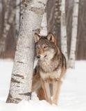 Grey Wolf (lupus de Canis) se tient à côté de l'arbre de bouleau Images stock
