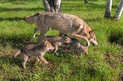 Grey Wolf (lupus de Canis) y los perritos corren en luz del sol de la madrugada Imagen de archivo libre de regalías