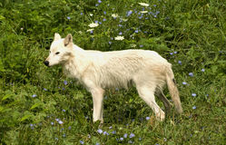 Grey wolf in meadow. Grey wolf with white coat in a meadow Royalty Free Stock Photography