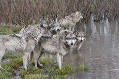 Grey Wolf Pack bij een Meer stock fotografie
