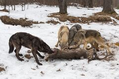 Free Grey Wolf Pack Canis Lupus Argues Over White Tail Deer Corpse Winter Stock Image - 193061091