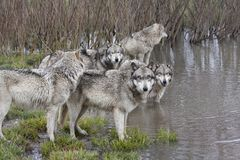 Grey Wolf Pack at a Lake Stock Photography