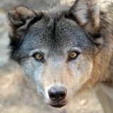 Grey wolf portrait Royalty Free Stock Photo