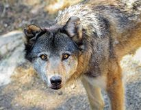 Grey wolf portrait Stock Photos