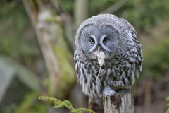 Grey owl portrait while eating a mouse Stock Images