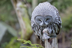 Grey owl portrait while eating a mouse Royalty Free Stock Image