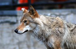 A grey wolf profile portrait Royalty Free Stock Images
