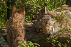 Grey Wolf Pup Canis lupus and Adult. Captive animals Royalty Free Stock Photos