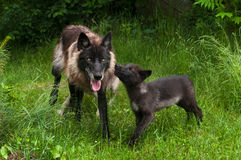 Grey Wolf Pup (Canis lupus) Begs for Food from Older Sibling. Captive animals, motion blur on pup Royalty Free Stock Image