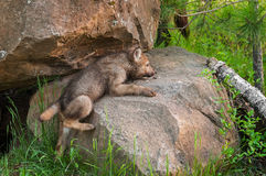 Grey Wolf Pup (Canis lupus) Clambers up Rock Royalty Free Stock Photo