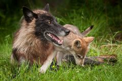 Grey Wolf Pup Canis lupus Climbs Over Black Faced Wolf. Captive animal Stock Images