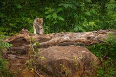 Grey Wolf Pup Canis lupus CLimbs Over Log. Captive animal Royalty Free Stock Photo