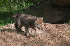Grey Wolf Pup (Canis Lupus) läuft nach rechts Lizenzfreie Stockfotografie