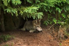 Grey Wolf Pup Canis lupus Mouth in Dirt. Captive animal Royalty Free Stock Photography