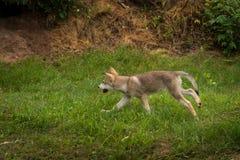 Grey Wolf Pup Canis lupus Runs Left. Captive animal Stock Photo