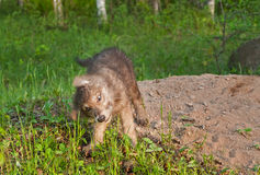 Grey Wolf Pup (Canis lupus) Shake Stock Photography