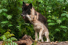 Grey Wolf Pup (Canis lupus) Sniffs at Black Wolf Stock Image