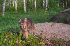 Grey Wolf Pup (Canis Lupus) steht bei Den Entrance Lizenzfreie Stockbilder