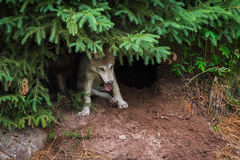 Grey Wolf Pup Canis lupus Under Pine Stock Photo