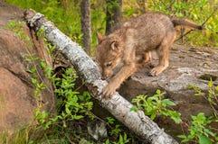 Grey Wolf Pup (Canis-wolfszweer) beklimt van Rots over Logboek Royalty-vrije Stock Foto's