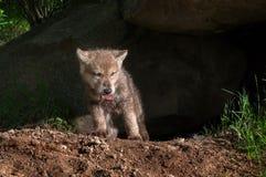 Grey Wolf Pup (Canislupus) klättrar ut ur håla med stycket av kött Royaltyfri Foto