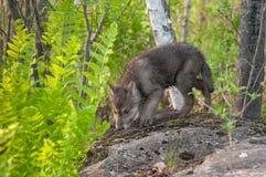 Grey Wolf Pup (lúpus de Canis) aspira sobre a rocha Fotografia de Stock Royalty Free