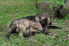 Grey Wolf Pup (lúpus de Canis) lambe a boca da mãe Fotografia de Stock Royalty Free
