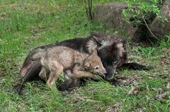Grey Wolf Pup (lupus de Canis) lèche la bouche de la mère Photographie stock libre de droits