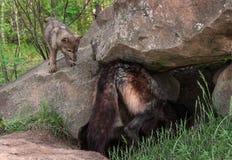 Grey Wolf Pup (lupus de Canis) mira a la madre en guarida Foto de archivo