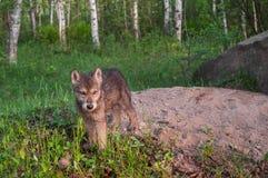Grey Wolf Pup (lupus de Canis) se coloca en Den Entrance Imágenes de archivo libres de regalías